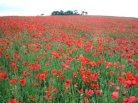 poppy_field_300pxw
